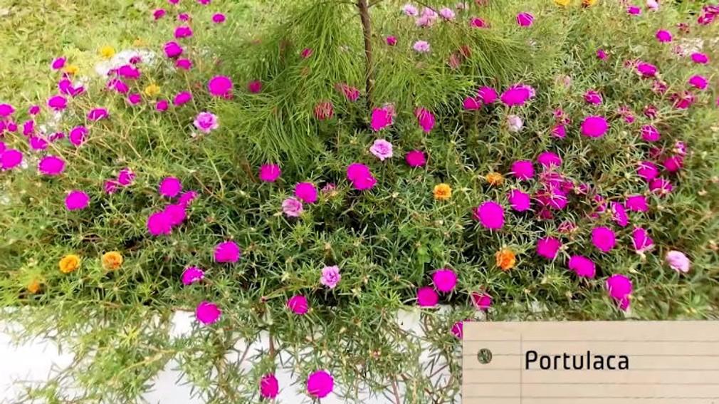 Nová záhrada - Portulaca