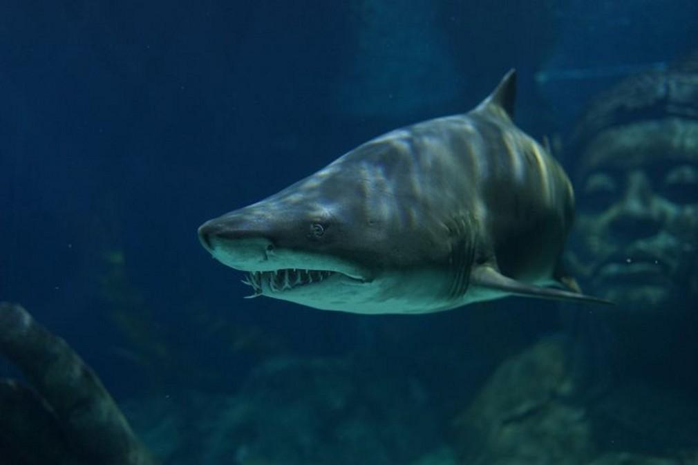 Žralok tigrovaný