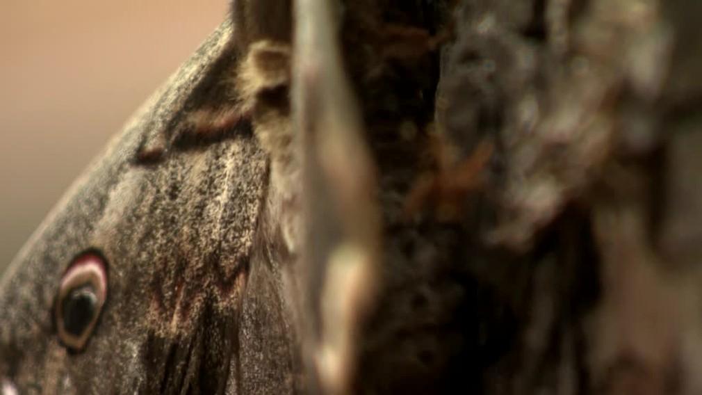 [multi] V Čachticiach našli mega motýľa. Má až 16 centimetrov 3217