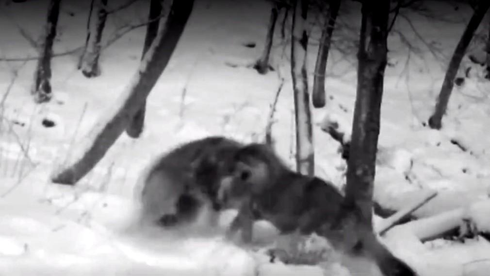 Svorka vlkov utekala o život. Mladíci ju naháňali na terénnom aute