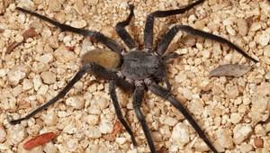 Na svete je nový druh obrieho pavúka  Meria neuveriteľných 23 centimetrov 729a76a314