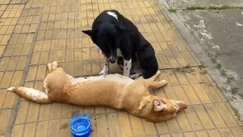 Pes Negrit s mŕtvym štvornohým kamarátom.