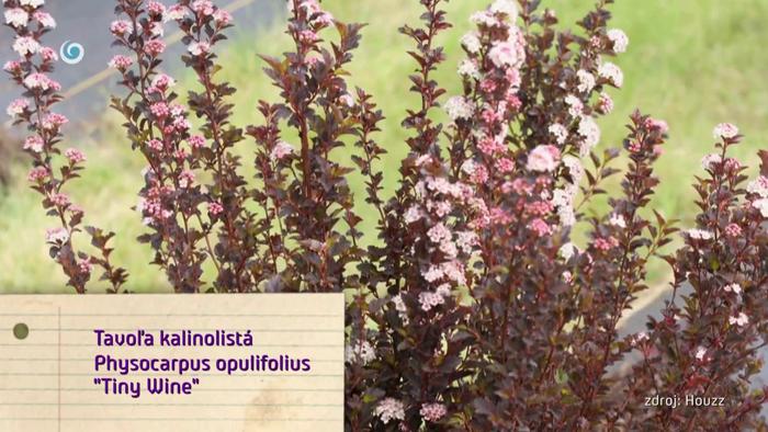 Nová záhrada - Tavoľa kalinolistá