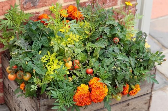 Nová záhrada - nechtík