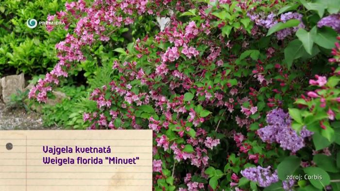 Nová záhrada - Vajgela kvetnatá odroda Minuet