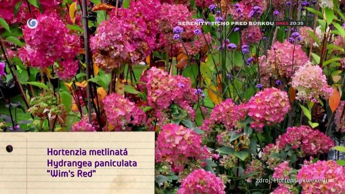 Nová záhrada - Hortenzia metlinatá