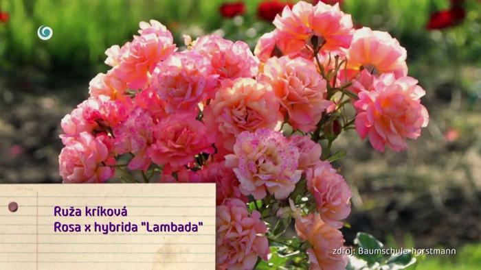 Nová záhrada - Ruža kríková odroda Lambada