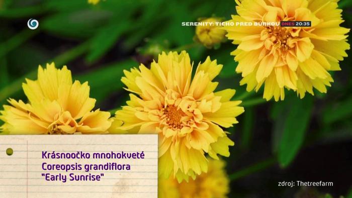 Nová záhrada - Krásnoočko mnohokveté
