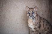 Puma Mia rastie 5