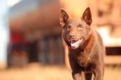 Červený pes
