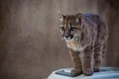 Puma Mia rastie 4