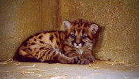 Puma Mia rastie 7