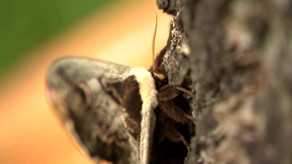 fdd7919c3 FOTO: V Čachticiach našli mega motýľa. Má až 16 centimetrov a žije z lásky