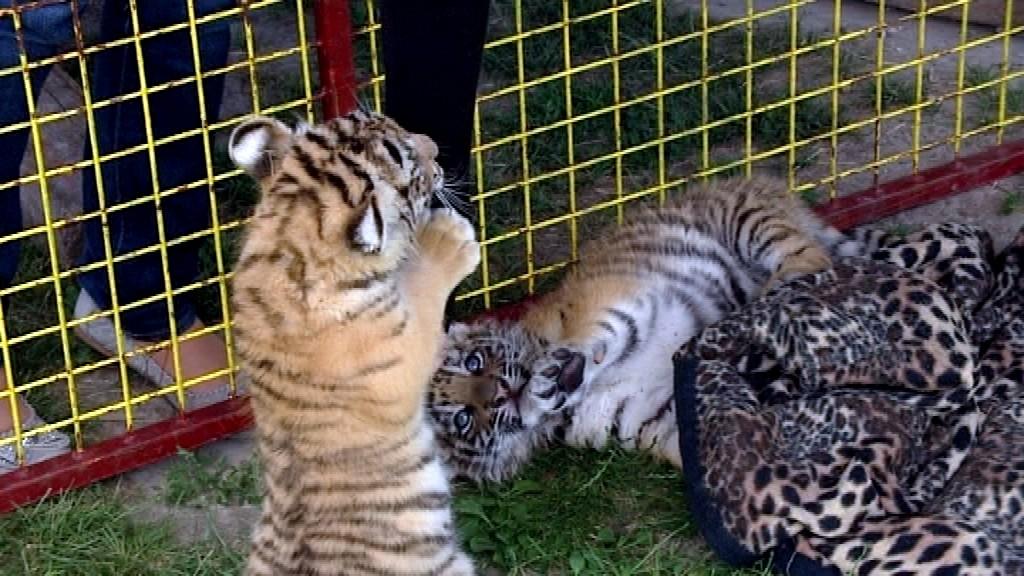 Cirkus_Joo_tigríčatá_malé_narodené_hrajú sa