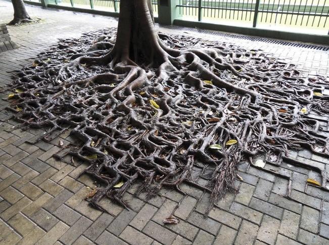 Strom prirastený k dlažbe. Korene kopírujú dlažbové kocky.